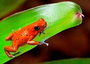 red poison dart frog
