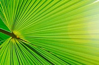 green fresh leaf of palm background closeup