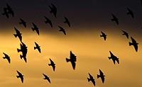 Starlings - Sturnus vulgaris, Greece