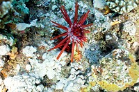 slate sea urchin