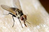 Fly  Muscidae, Diptera  2012