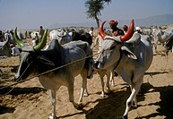 Sacred BRAHMA COWS with PAINTED HORNS at the PUSHKAR CAMEL FAIR, a 5 day religious festival _ RAJASTHAN, INDIA