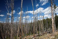 Results of 1988 Fire, Dunraven Pass, Yellowstone National Park, Wyoming, USA