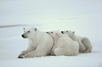 Polar she_bear with cubs.