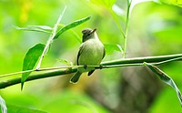 Yellow-bellied Elaenia, Elaenia flavogaster