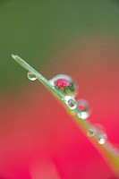 vertical shallow depth of field of grass blade with dew drops and flower reflection