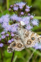 Crab Spider Misumena vatia Eating American Painted Lady Butterfly Cynthia virginiensis on Ageratum Eupatorium coelestinum at Corolla, NC USA Outer Ban...