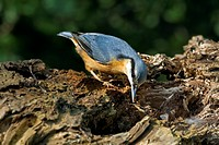 Eurasian nuthatch Sitta europaea foraging on tree trunk in forest, Belgium