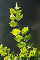 Elm Ulmus leaves in summer, Belgium