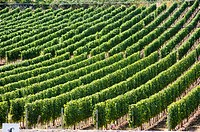 Canada, BC, Oliver, Vineyards, golden mile, Okanagan Valley, agriculture