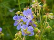 jardin alpin du lautaret,isere,france
