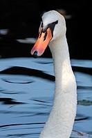Swan portrait in Milan, Italy