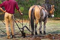 Using draft horse to plow pasture into cropland, Burton Ranch, Nevada City, California