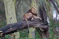 male Lion Panthera leo lying on tree, Lake Nakuru National Park, Kenya