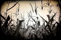 Cereal  Cultivo de maíz  Campo sembrado de maíz , Cereal  Corn crop  Cornfield