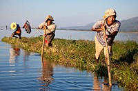 Myanmar, Burma  Inle Lake, Shan State  Burmese Men Using Long Poles to Relocate a Floating Island for Agricultural Purposes  These floating islands of...
