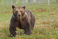 Portrait Old brown bear