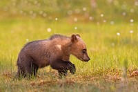 Young brown bear, one year old, Finland