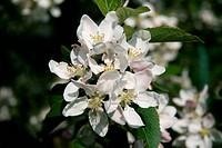 Apple tree, Malus, nature, flowers, plants CTK Photo/Marketa Hofmanova
