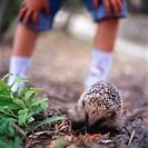 Little boy watching a hedgehog