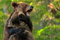 Two brown bears in a forest, sparring North East Finland