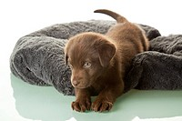 A chocolate Labrador puppy