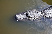 head of large american alligator swimming floating near water surface florida usa