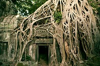 A web of tree roots cover Ta Prohm temple, Angkor