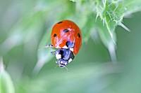Seven_spot ladybird, Coccinella septempunctata / Siebenpunkt_Marienkäfer, Coccinella septempunctata
