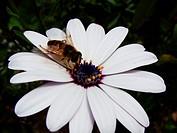 Dimorphotheca ecklonis