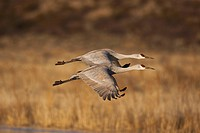 Sandhill Cranes Grus canadensis, adults in flight, Bosque del Apache National Wildlife Refuge, New Mexico, USA