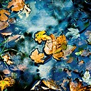 Leaves on water surface