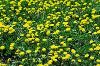 bright greens and yellow flowers of a dandelion in