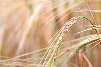 Wheat close_up