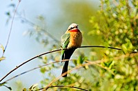 Africa, Bwa Bwata, National Park, Caprivi, Green, Namibia, colorful, bird, horizontal, perched, perching, puffed, chest, red throat, short beak, yello...