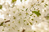Prunus avium, Cherry, Wild Cherry, White subject.