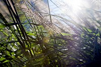 Seagrass in Morning Light