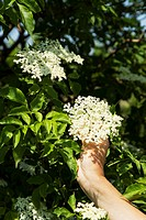 A hand reaching for a sprig of elderflowers