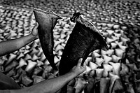 A trader holds up dried shark fins at a processing plant in Manta, Ecuador, 8 September 2012  Every morning, hundreds of shark bodies and thousands of...