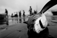 A dead thresher shark lies on the beach of Puerto Lopez, Ecuador, 6 April 2012  Every morning, hundreds of shark bodies and thousands of shark fins ar...