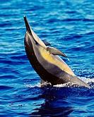 Hawaiian spinner dolphin, Stenella longirostris longirostris, tail-walking, Kona Coast, Big Island, Hawaii, USA, Pacific Ocean