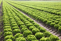 Rows lettuce salad crop growing in field, Hollesley, Suffolk, England