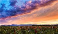 Gladiolus field near Strasbourg, Alsace, Haut-Rhin, France