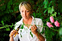 Woman pruning roses : tisk of tetanos infection with a thorn rose sting.