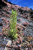 A small pine, pinus pinater, growing in a shale soil, Valongo, Portugal