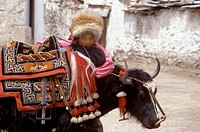 TIBETAN GIRL with FOX FUR HAT rests on her fully saddled YAK _ LHASA, TIBET