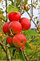 Cider apple, Asturias, Spain