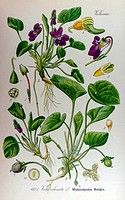 Violet Viola odorata. From Flora of Germany, Austria and Switzerland 1905, O. W. Thomé.