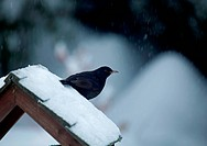 Blackbird on snowy bird table