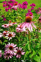 Sonnenhut Purpur _ Purple Coneflower 33
